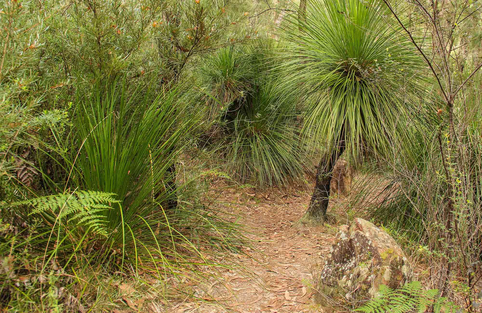 Grass Tree circuit, Dharug National Park. Photo: Nick Cubbin