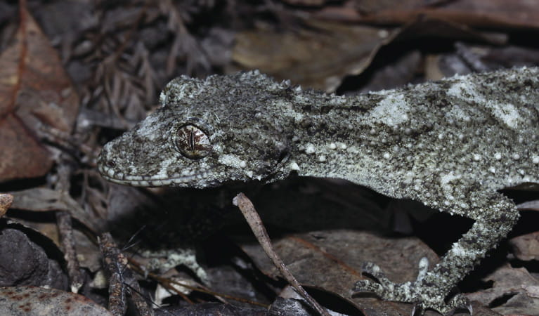 Leaf tailed gecko. Photo: John Yurasek