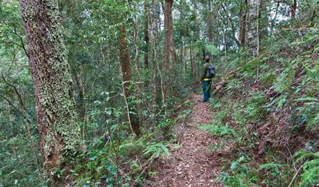 Blackbutt walking track, Dorrigo National Park. Photo: Rob Cleary