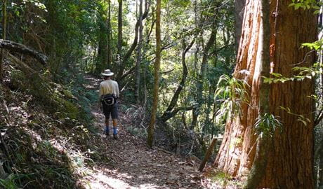 Casuarina Falls circuit, Dorrigo National Park. Photo: Barbara Webster