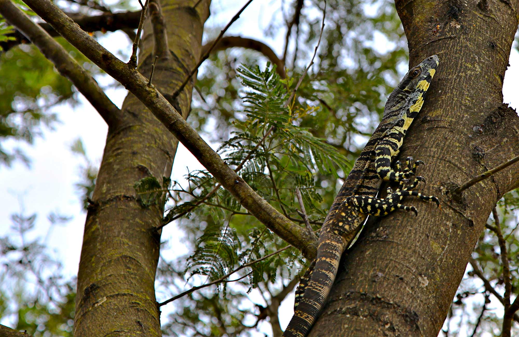 Goanna. Photo: Shaun Sursok