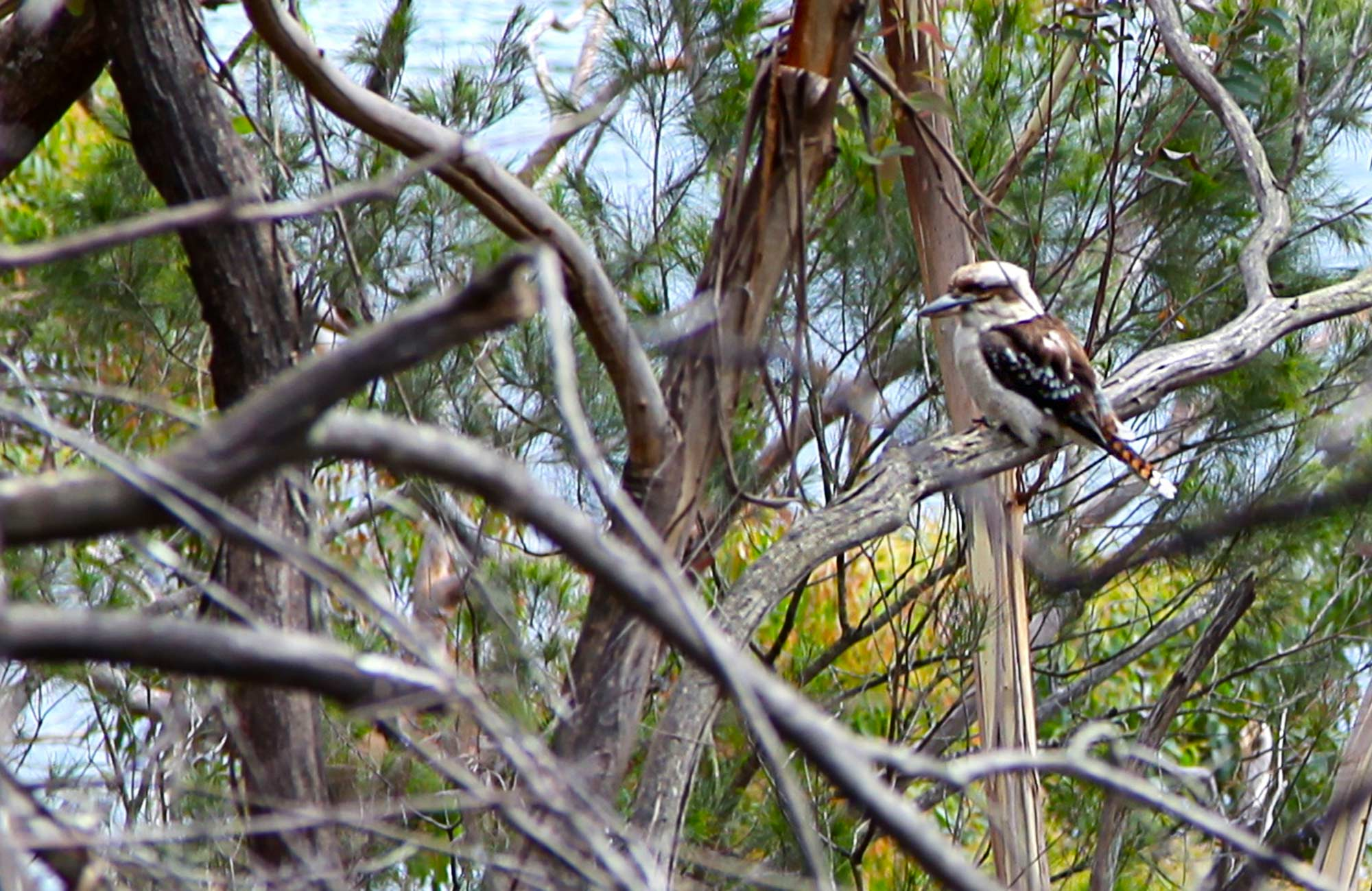 Kookaburra in the trees. Photo:Shaun Sursok