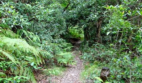 Seaforth Oval Natural Bridge track, Garigal National Park. Photo: Shaun Sursok