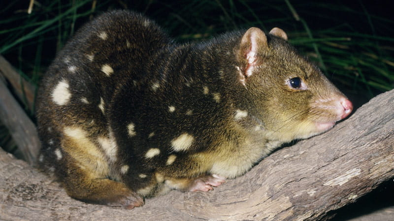 Spotted tail quoll. Photo: Ken Stephnell