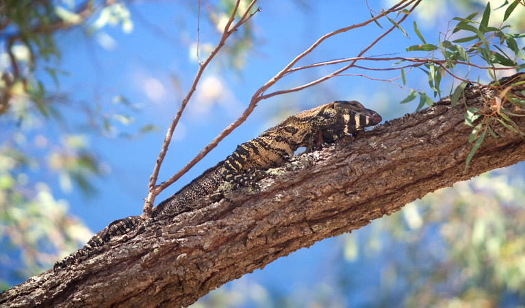 Goulburn River National Park, goanna. Photo: Nick Cubbin/NSW Government