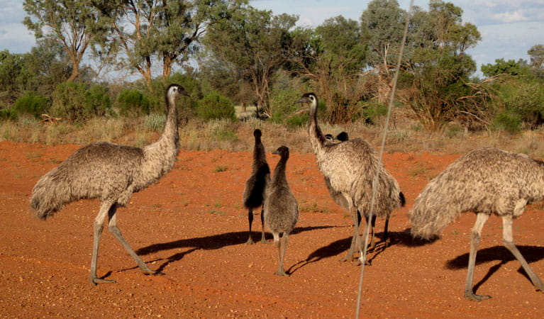 Emus. Photo: Dina Bullivant