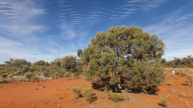 Native tree, Gundabooka National Park. Photo: David Finnegan