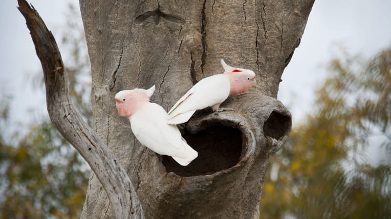 Pink cockatoos in a tree. Photo: David Finnegan