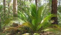 Macrozamia, Dalmorton Campground, Guy Fawkes River National Park. Photo: S Leathers/NSW Government