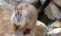 Rock Wallaby, Escarpment Walk, Guy Fawkes River National Park. Photo: S Leathers/NSW Government