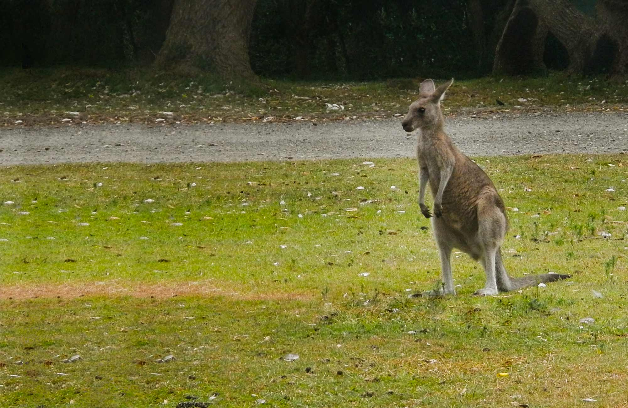 Kangaroo. Photo:Debby McGerty