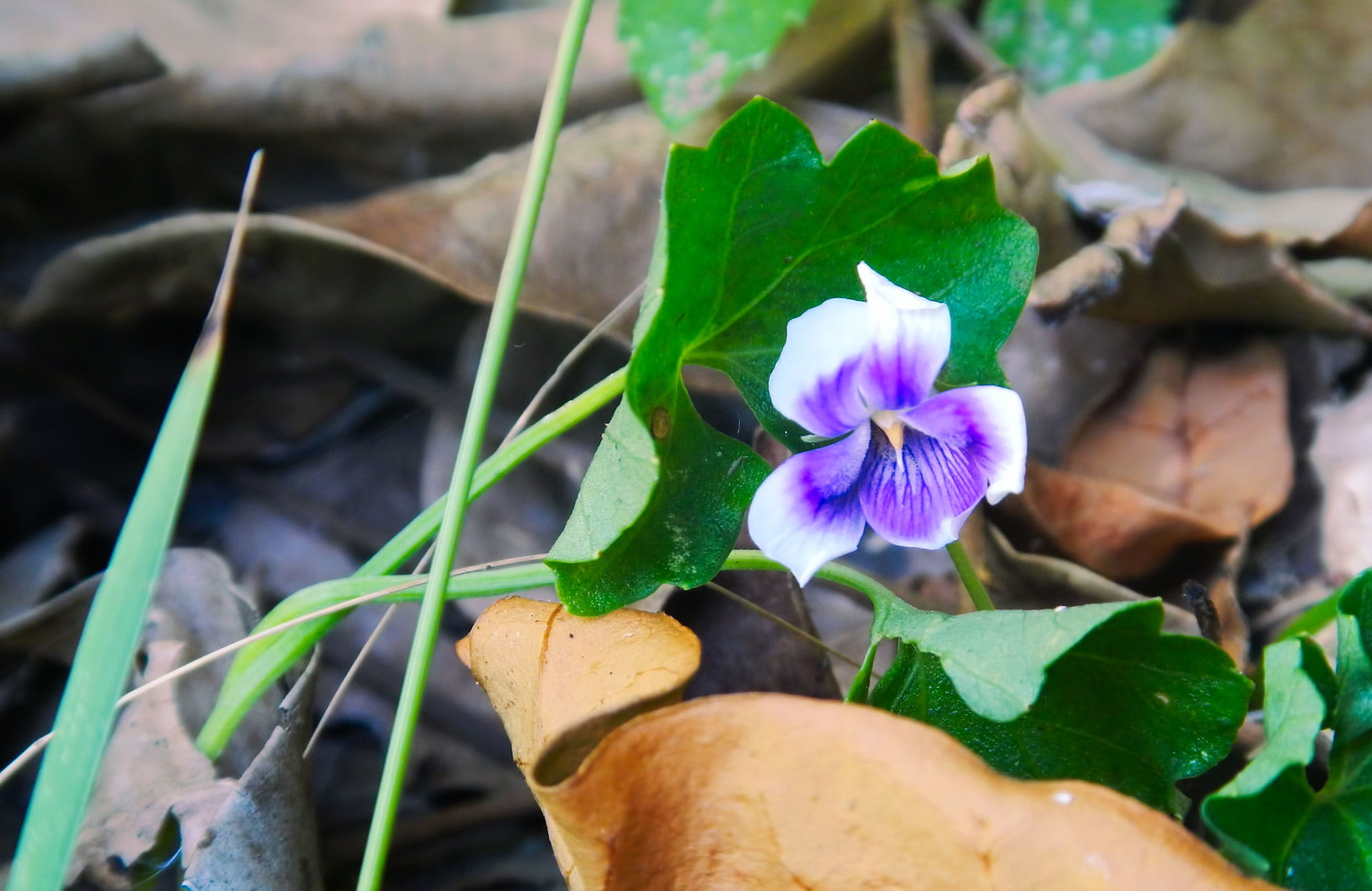 Small delicate purple flower. Photo:Debby McGerty