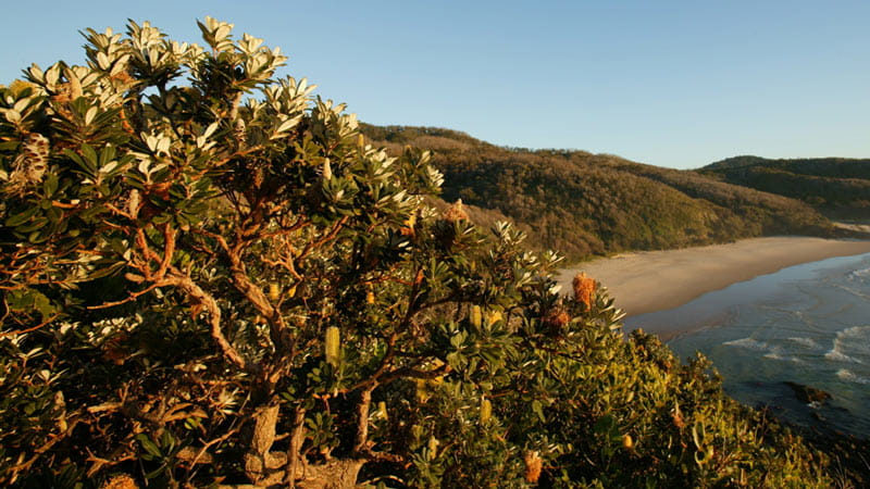 Coastal Banksia in Hat Head National Park. Photo: Stuart Poignard