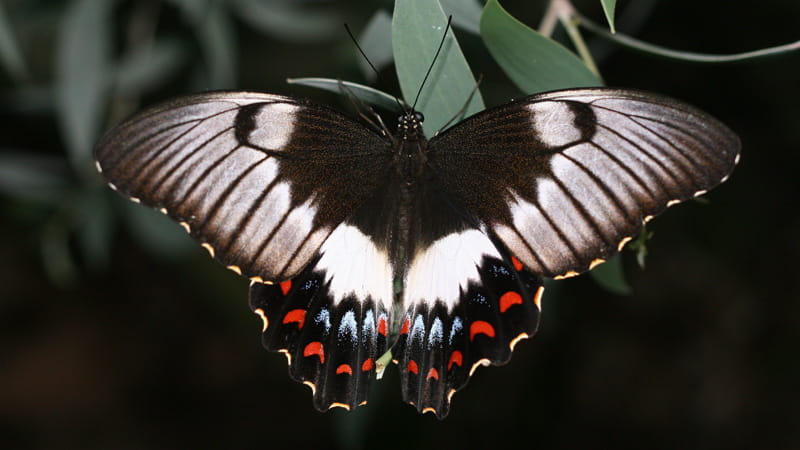Swallowtail Butterfly. Photo: Peter Sherratt