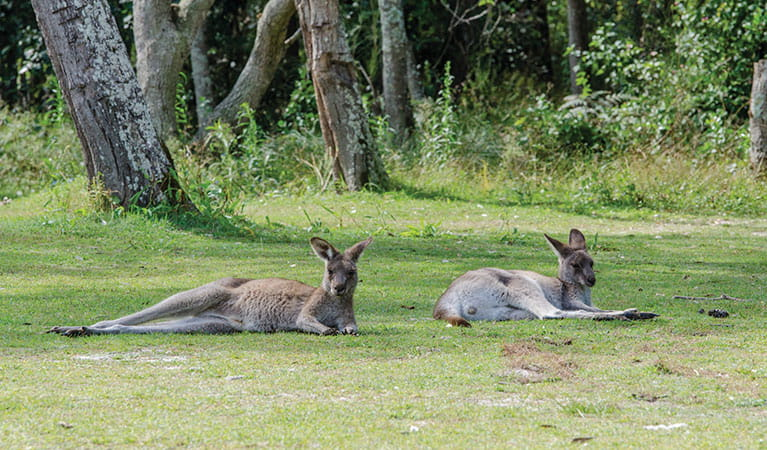 Eastern grey kangaroos near Smoky Cape campground in Hat Head National Park. Photo: John Spencer/DPIE