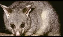Brushtail possum, Heathcote National Park. Photo: Ken Stepnell/OEH
