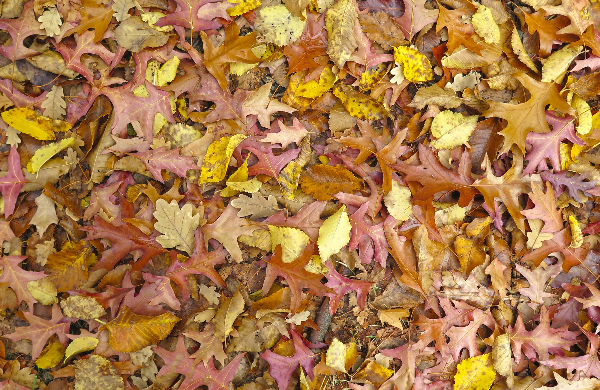 Fallen autumn leaves by the roadside in Hill End Historic Site. Photo: Elinor Sheargold/OEH