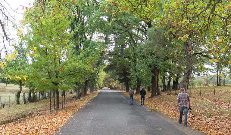 Autumn coloured leaves on trees lining the road into Hill End Historic Site. Photo: E Sheargold/OEH