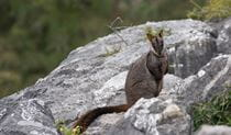 A brush-tailed rock wallaby sits on rocks in Jenolan Karst Conservation Reserve. Photo: Stuart Cohen/DPIE