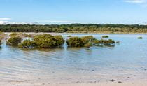 Mangroves in Carama Inlet along Hare Point walking track, Jervis Bay National Park. Photo: Michael van Ewijk © DPIE