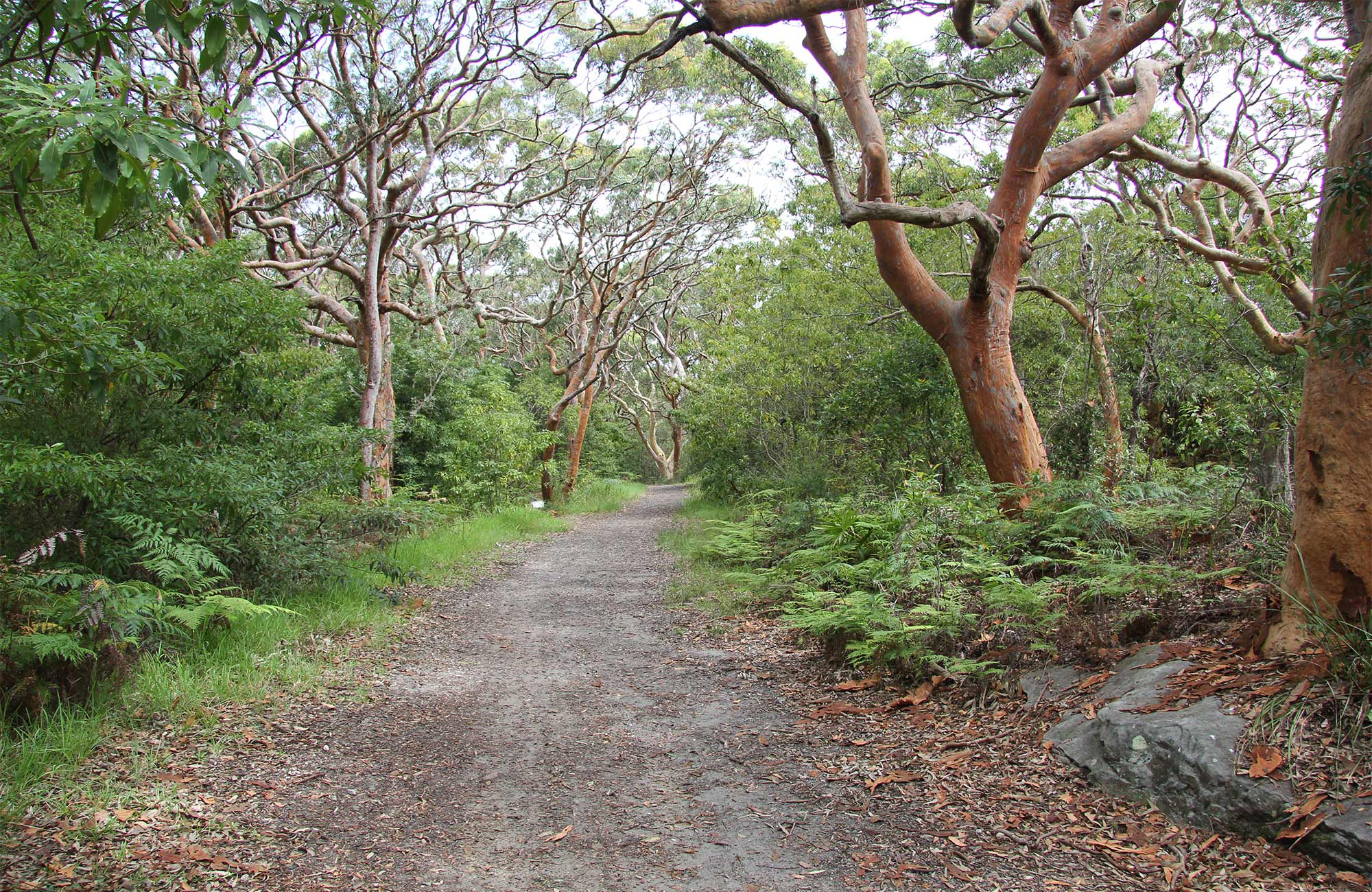 Wide path surrounded by mature, gnarled trees and green bush.  Photo: Natasha Webb/OEH.