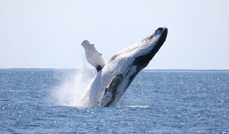 A humpback whale breaching. Photo © Wayne Reynolds