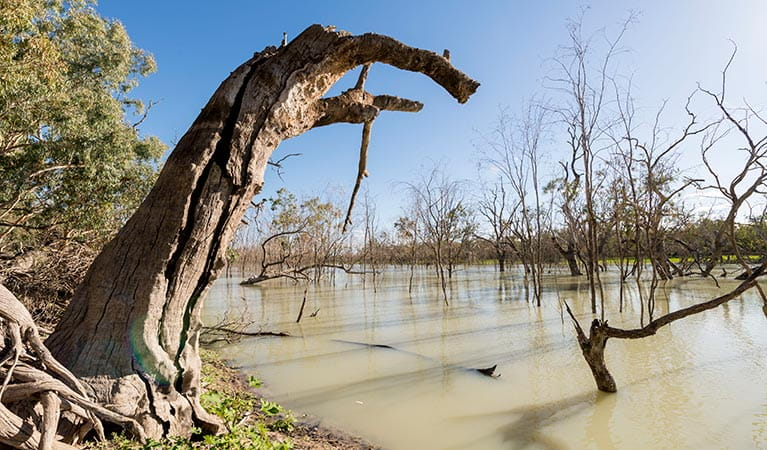 Submerged trees in Candwilla Creek at Morton Boulka picnic area. Photo: John Spencer/DPIE