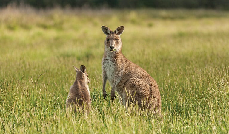An eastern grey kangaroo and joey in grassland, near Old Geehi campground, Kosciuszko National Park. Photo: Murray Vanderveer/OEH