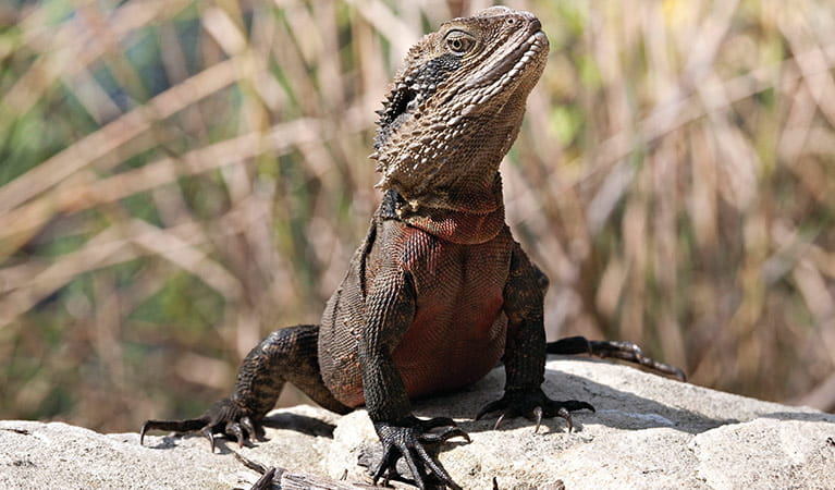 Eastern water dragon. Photo: R Nicolai/OEH