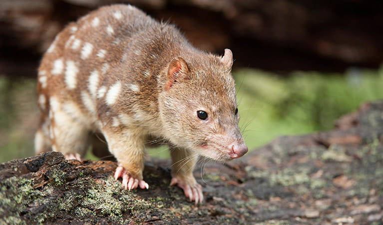 A spotted-tailed quoll, also known as a tiger quoll, stands on a fallen tree branch. Photo: James Evans/DPIE