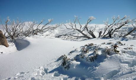 Snow covered trees. Kosciuszko National Park. Photo: Virginia Logan