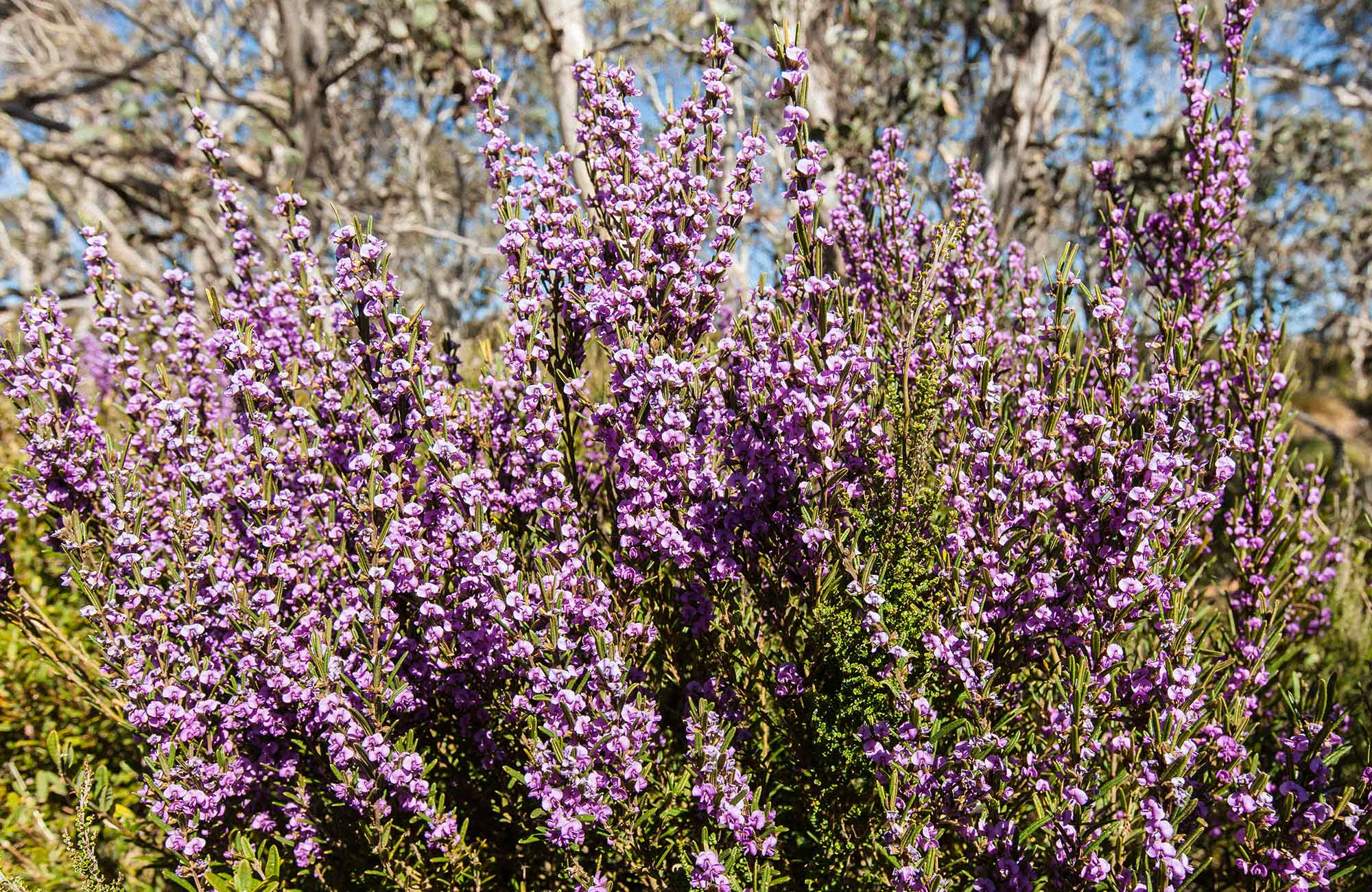 Purple mountain hovea wildflowers, Kosciuszko National Park. Photo: Murray Vanderveer