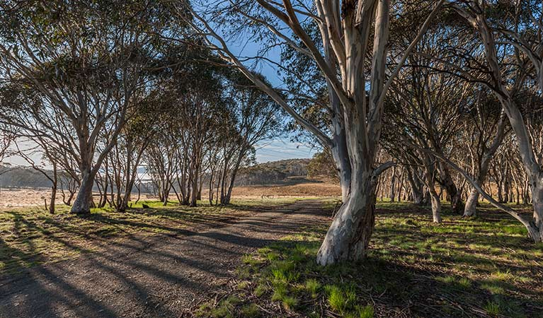 Unsealed Bullocks Hill trail passes through woodland, Kosciuszko National Park. Photo: Murray Vanderveer/OEH