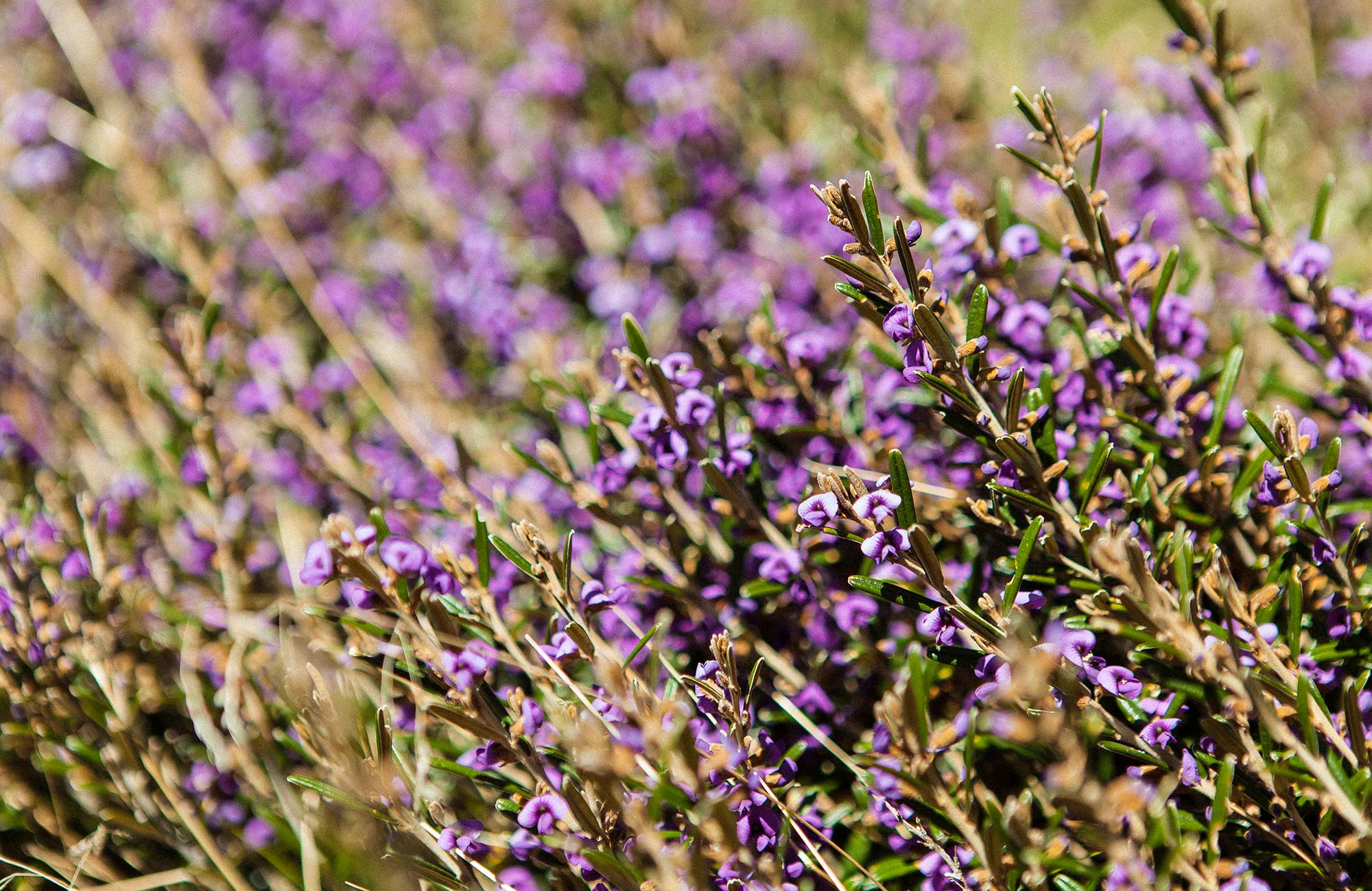 Purple flowering heath, Perisher Valley, Kosciuszko National Park. Photo: Murray Vanderveer/OEH