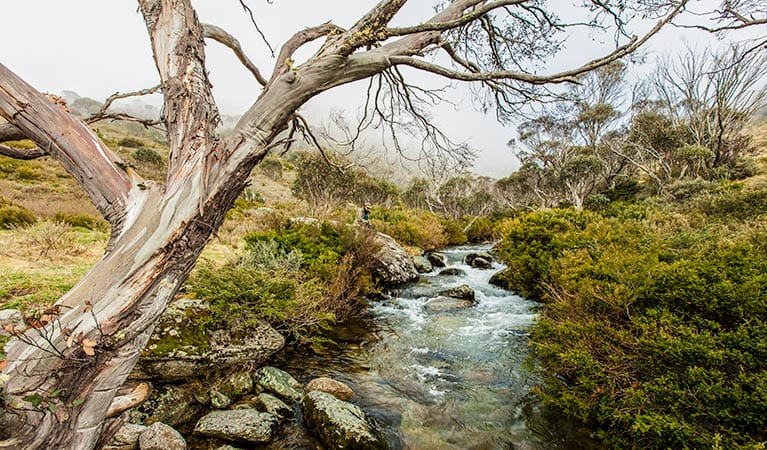 A snow gum leans over the Thredbo River at the end of Dead Horse Gap walking track, Kosciuszko National Park. Photo: Murray Vanderveer/DPIE