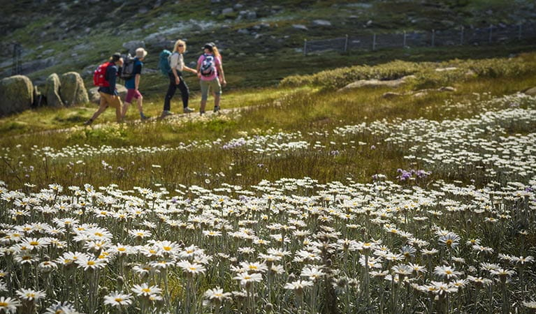 Four people walk past a meadow of alpine wildflowers in Kosciuszko National Park. Photo: Thredbo Resort