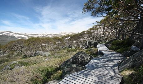 Snow Gums boardwalk snakes past snow gums at Charlotte Pass, Kosciuszko National Park. Photo: Elinor Sheargold/DPIE