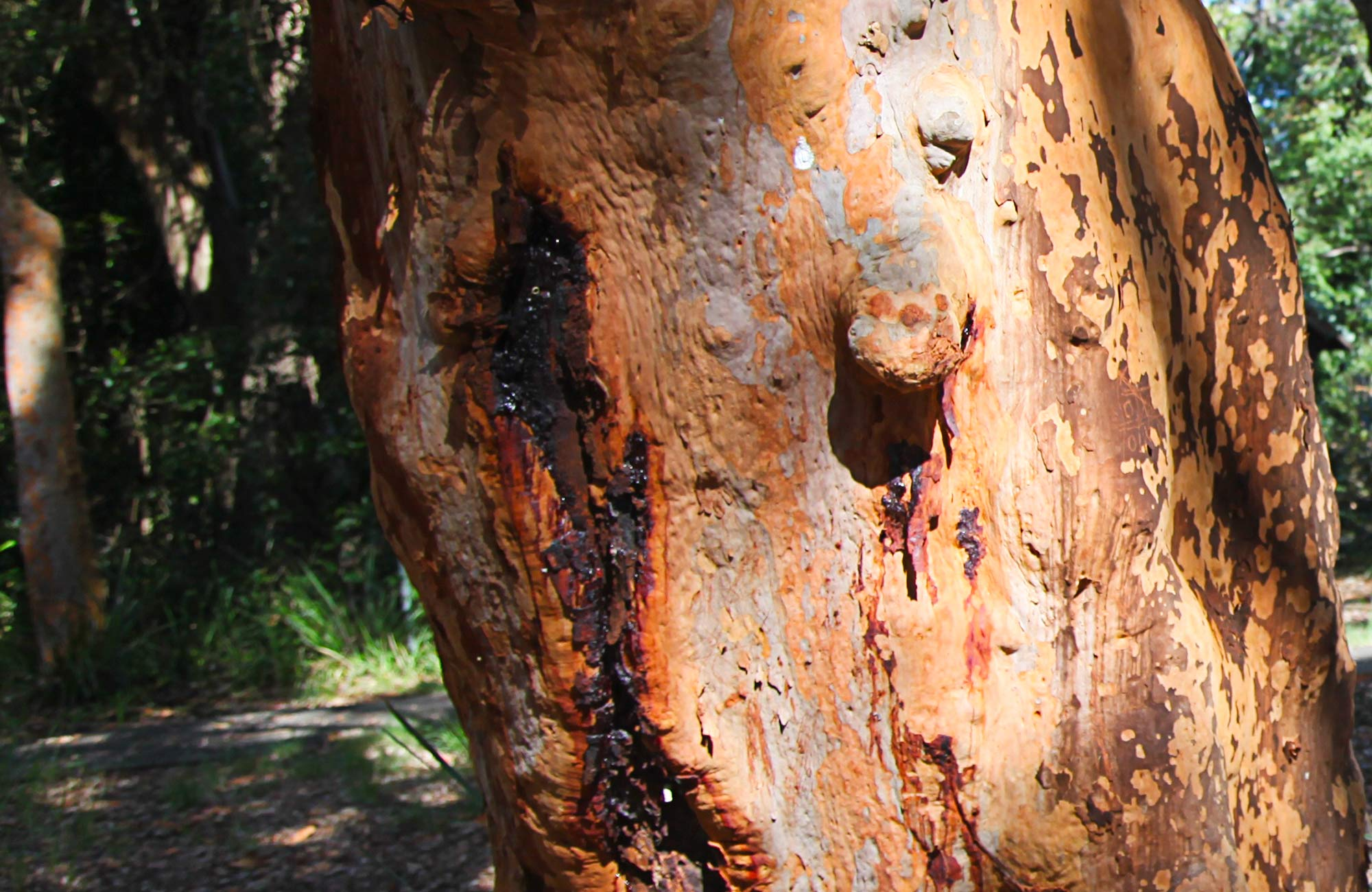 Closeup of a gum tree. Photo:Andy Richards