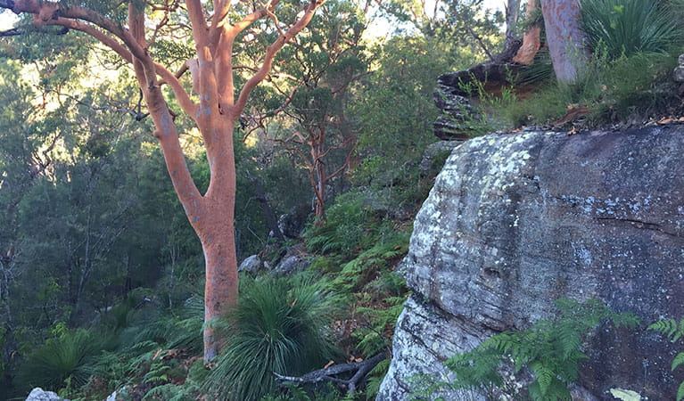 Picturesque forest on the Sphinx Memorial to Bobbin Head loop track, Ku-ring-gai Chase National Park. Photo: Natasha Webb/OEH