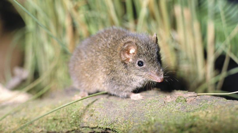 The brown antechinus, Lane Cove National Park. Photo: Ken Stepnell