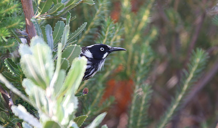 Ferns crowd the mesh boardwalk of Western Escarpment walking track, Malabar Headland National Park. Photo: E Sheargold/OEH