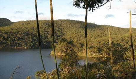 View of grass tree spikes above Berowra Creek, Coba Ridge, Marramarra National Park. Photo: Tegan Burton/OEH