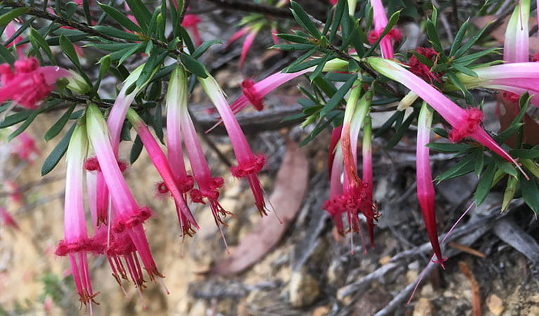 Close up of red five-corner shrub tubular flowers, Marramarra National Park. Photo: Tegan Burton/OEH