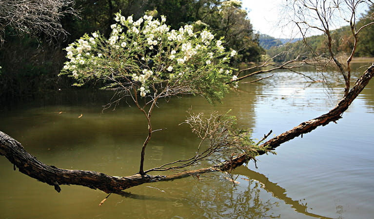 White flowers of the flax-leaved paperbark tree on an overhanging branch, Hawkesbury River.  Photo: Rosie Nicolai/DPIE.