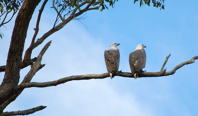 Sea eagles, Meroo National Park. Photo: Michael Jarman