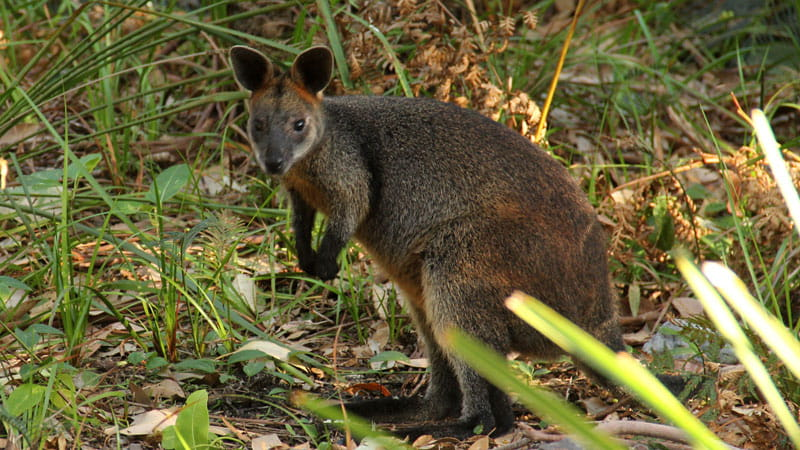 Pademelon. Photo: John Yurasek