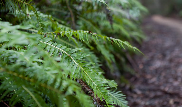 Corn Trail walking track fern, Monga National Park. Photo: Lucas Boyd