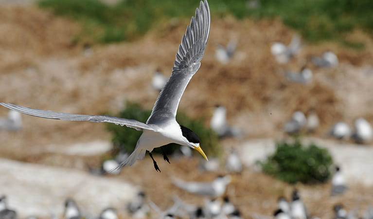 A crested tern in flight at Montague Island Nature Reserve. Photo: Stuart Cohen/OEH