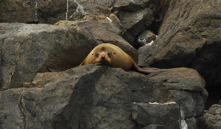 An Australian fur seal sunbakes on rocks at Montague Island Nature Reserve. Photo: Michael Jarman/OEH