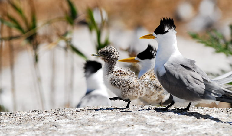 A crested tern chick walks on a rock in front of its parent, Montague Island Nature Reserve. Photo: Stuart Cohen/OEH